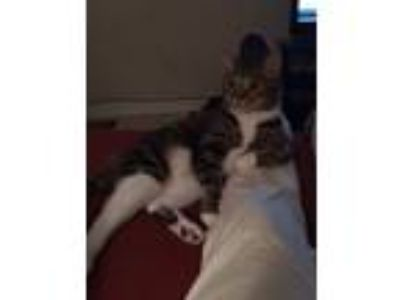 Adopt Geri a Gray, Blue or Silver Tabby Domestic Shorthair / Mixed cat in