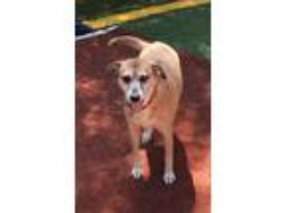 Adopt Tom a Red/Golden/Orange/Chestnut - with Black Labrador Retriever / German