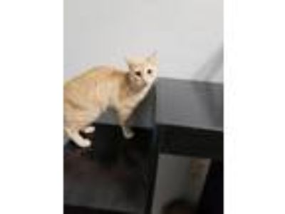 Adopt Thomas a Orange or Red Domestic Shorthair / Mixed cat in Shreveport