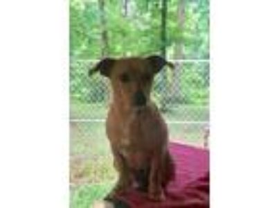 Adopt Gypsy a Tan/Yellow/Fawn Dachshund / Mixed dog in Kittery, ME (25282504)