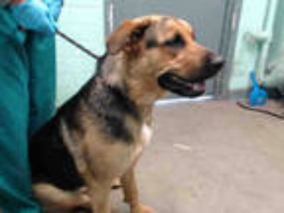 Adopt SASHA a Black - with Tan, Yellow or Fawn German Shepherd Dog / Rottweiler