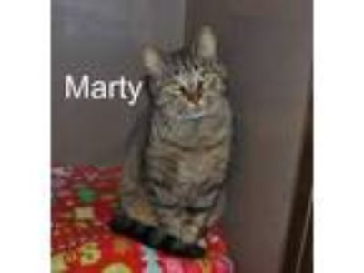 Adopt MARTY a Brown Tabby Domestic Shorthair / Mixed (short coat) cat in Clyde