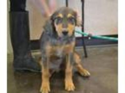 Adopt Hollie a Catahoula Leopard Dog, Australian Shepherd