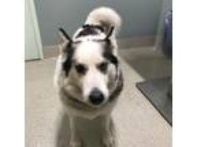 Adopt Nikko a White Husky / Mixed dog in Menands, NY (25548646)