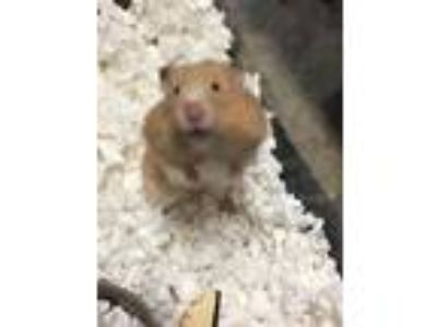 Adopt Teddy a Hamster small animal in Fall River, MA (25582044)