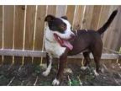 Adopt Savannah a Brown/Chocolate American Pit Bull Terrier / Mixed dog in