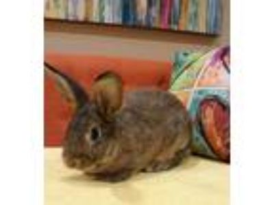 Adopt Bugs a Chocolate American / American / Mixed rabbit in Bend, OR (25298247)