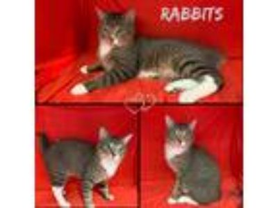 Adopt Rabbits a Orange or Red Tabby American Bobtail (short coat) cat in