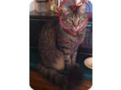 Adopt Blossom Boy a Gray, Blue or Silver Tabby Domestic Longhair (medium coat)