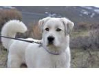 Adopt Goggles a Great Pyrenees