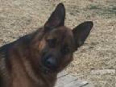 Adopt Emilio (Leo) a German Shepherd Dog