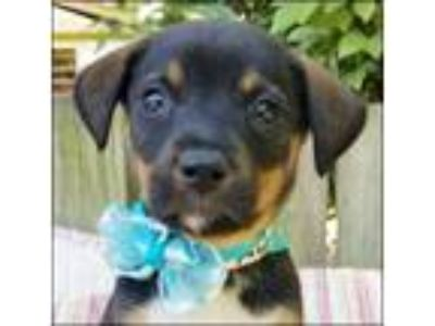 Adopt Aiden Puppy - Available June 2nd a Shepherd, Mixed Breed