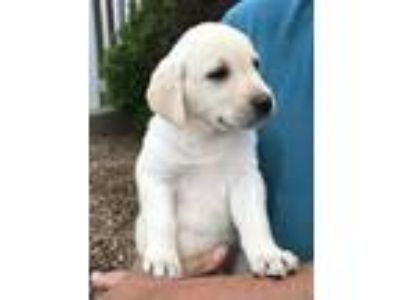 Light Yellow Labrador Pups Available Now