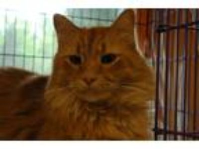 Adopt Luke a Orange or Red Domestic Longhair / Mixed (medium coat) cat in