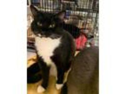 Adopt Bermuda a All Black Domestic Shorthair / Domestic Shorthair / Mixed cat in