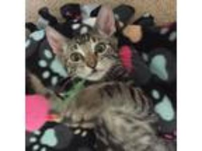 Adopt Judy a Brown or Chocolate Domestic Shorthair cat in Los Angeles