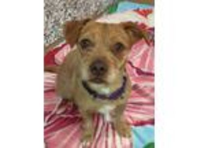 Adopt Ava a Red/Golden/Orange/Chestnut Terrier (Unknown Type