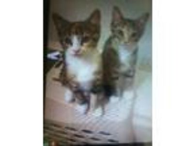 Adopt Kittens available many a Calico