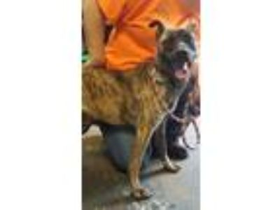 Adopt Mikayla 314 a Catahoula Leopard Dog, Dutch Shepherd