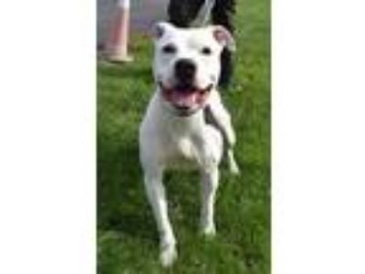 Adopt Ferris a White American Pit Bull Terrier / Mixed dog in South Abington