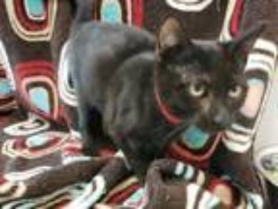 Adopt Zainey a All Black Domestic Shorthair / Mixed cat in Boulder