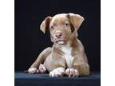 Adopt Anna a Tan/Yellow/Fawn - with White Terrier (Unknown Type