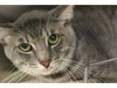 Adopt CAT4 a Gray, Blue or Silver Tabby Domestic Shorthair / Mixed (short coat)