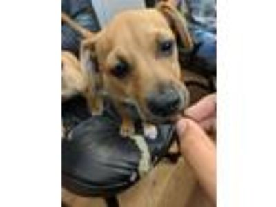 Adopt Pauly D a Brown/Chocolate Dachshund / Terrier (Unknown Type