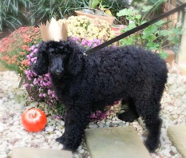 Poodle (Standard) PUPPY FOR SALE ADN-94367 - Royal Poodle