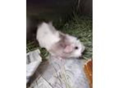 Adopt EMILY a White Guinea Pig / Mixed small animal in St. Louis, MO (25592365)