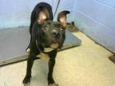Adopt PLUTO a Black - with White American Pit Bull Terrier / Mixed dog in