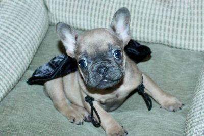 French Bulldog Puppies  Blue Fawn Girl ready Nov