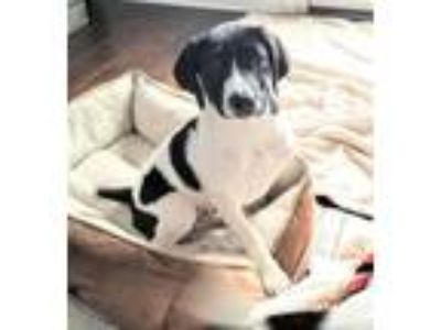 Adopt Kelly a English Pointer, Spaniel