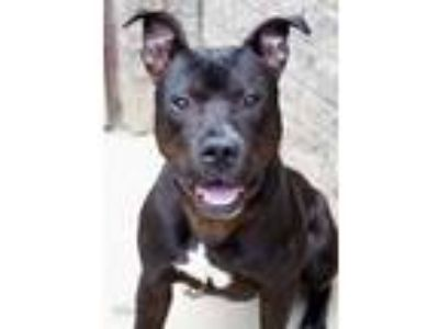 Adopt Kavo a Black American Pit Bull Terrier / Mixed dog in South Bend