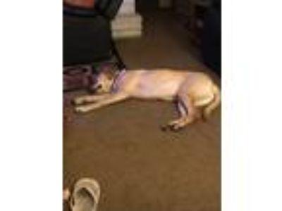 Adopt Tucker a Tan/Yellow/Fawn Labrador Retriever dog in La Porte, TX (25465926)