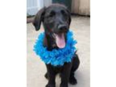 Adopt Mickey a Black Labradoodle / Spaniel (Unknown Type) / Mixed dog in