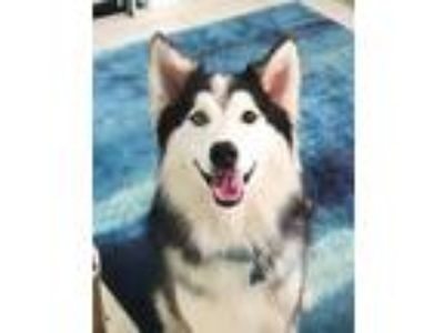 Adopt Balto II a Black - with White Siberian Husky / Mixed dog in Winter