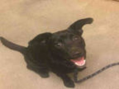 Adopt COQUETA a Black German Shepherd Dog / Mixed dog in Upper Marlboro
