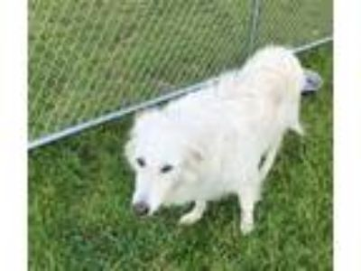 Adopt Lilly a Great Pyrenees, Collie