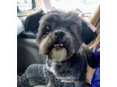 Adopt Tipsy a Lhasa Apso, Terrier