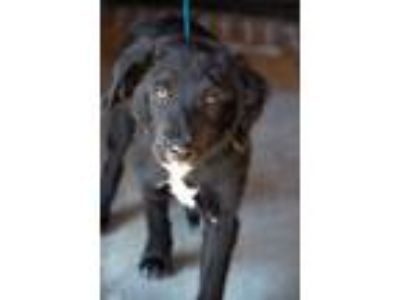 Adopt Gucci a Black - with White Australian Shepherd / Mixed dog in Broken