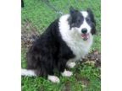 Adopt Shelley a Black - with White Border Collie / Mixed dog in Georgetown