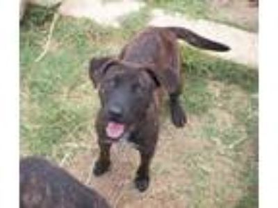 Adopt Laney a Brindle - with White Plott Hound / Mixed dog in Lisbon
