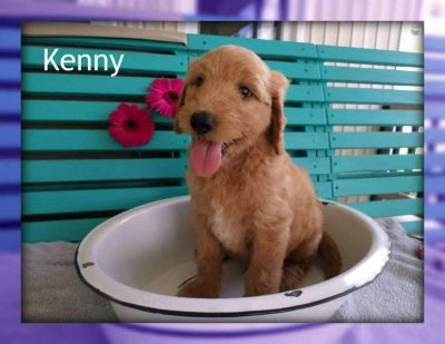 Kenny: Male F1 Goldendoodle