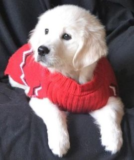 happy Golden retriever Puppies available