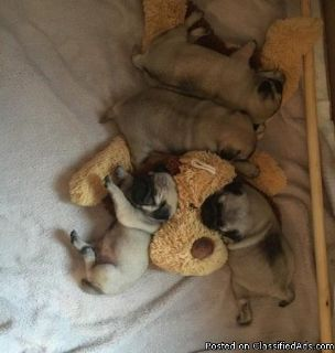 AVAILABLE fawn pug puppies forsale
