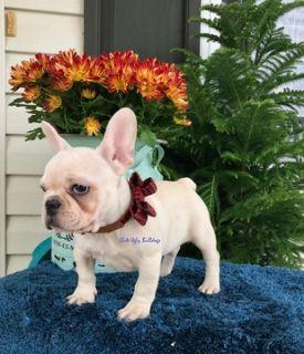 French Bulldog PUPPY FOR SALE ADN-105048 - Sabrina  French Bulldog