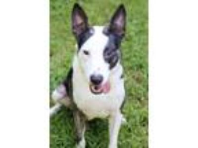 Adopt Bella a White - with Black Pit Bull Terrier / Shepherd (Unknown Type) /