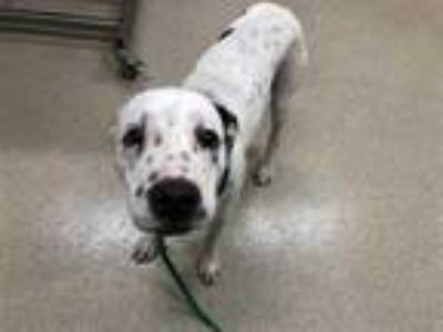 Adopt SPECKLES a White - with Black Pointer / Mixed dog in Grand Prairie