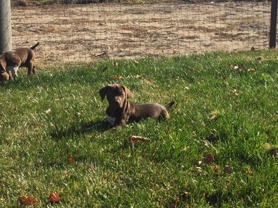 Vizsla-German Shorthaired Pointer Mix PUPPY FOR SALE ADN-52683 - Vizsla and German shorthair mix